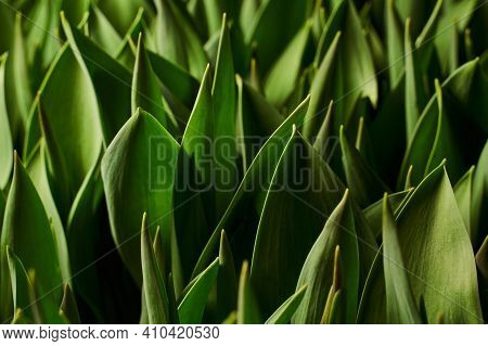 Green Leafy Background. Voluminous Leaves With Narrow Tips.