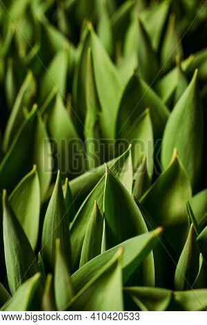 Vertical Green Leafy Background. Beautiful Background Of Tulip Leaves With Deep Shadows.