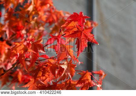These Are The Leaves Of The Red Maple Tree In The Fall.