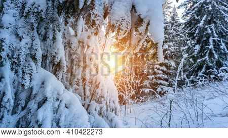 Winter Forest Panorama. Snowy White Christmas Tree In Sunshine. Frost Nature Scene With Beautiful Mo