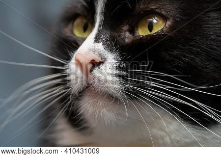 Macro Photo Of The Head Of A Beautiful Black And White Cat With A Pink Nose, Long White Mustache, Gr
