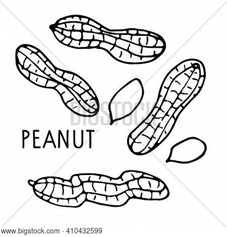 Peanut. Hand Drawn Vector Nut And Peanut Text. Doodle Linear Sketch. Organic, Fresh Cooking, Healthy