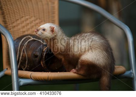The Young Brisk Animal Ferret, Sits Next To A Clay Amphora On A Wicker Chair In The Cottage Outside