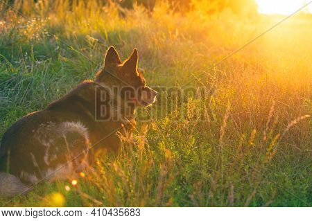 Dog Gazing Sunset In The Countryside In The Field. The Dog Sitting On The Grass Back To The Camera
