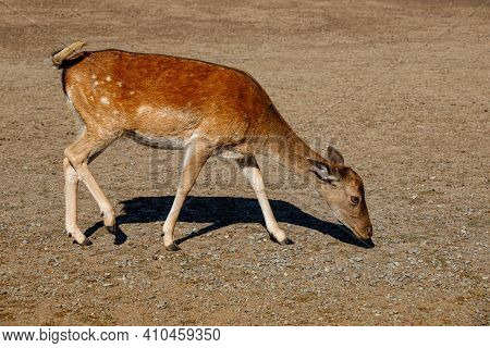 Full Body Of Female European Fallow Deer On The Meadow. Photography Of Lively Wildlife.
