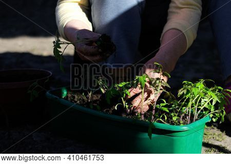 Tomato Seedlings. The Hand Of A Senior Woman Are Planting The Tomato Seedlings Into Green Container