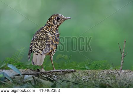 Tiger Look Bird With Black White And Yellow Banded Feathers, Scaly Thrush, Rare Migration Bird To Th