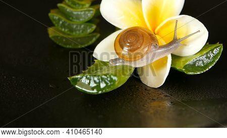 Mollusk Walking On Aloe Vera Leaf Isolated, Black Background With Frangipani Plumeria Tropical Flowe