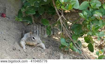 Beechey Ground Squirrel, Common In California, Pacific Coast, Usa. Funny Behavior Of Cute Gray Wild