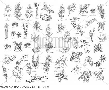, Cooking Herbs And Seasonings Sketch Vectors Set. Bay Leaves, Peppermint And Sage, Cinnamon And Gin