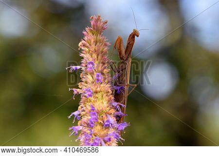 Praying Mantis Sits On A Flower. Macro Of A Female European Praying Mantis Or Mantis Religiosa. Brow
