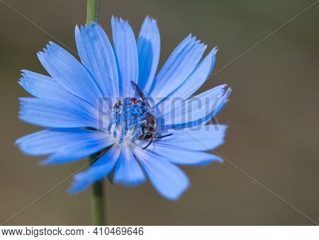Black Wasp In A Big Blue Cichorium Flower, Macro Photo. A Type Of Little Wasp, Feeding On The Nectar