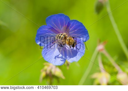 Bee On Blue Flower Geranium Pratense With Green Background. Close-up Honey Bee On Blue Flower Of Mea