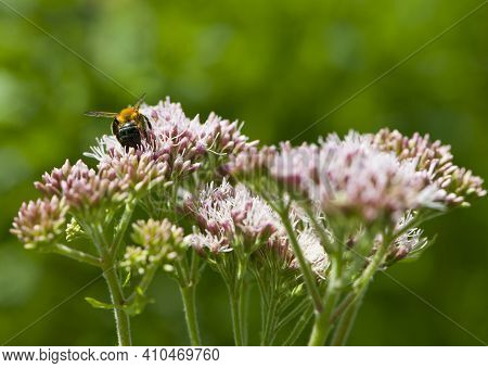 Bee Sitting On Pink Flowers, With Green Background, Close-up. Bee On A Pink Flower, Bee Sitting On W