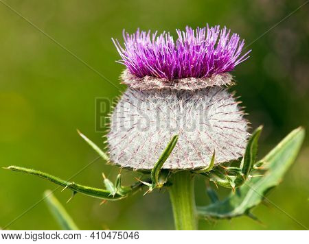 Purple Or Violet Flower Of Cirsium Eriophorum Alias Woolly Thistle On A Green Meadow Background