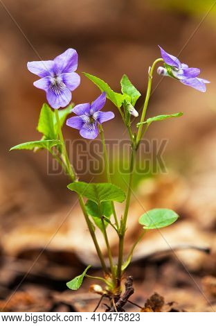 Viola Riviniana, Flowering Plant The Common Dog-violet. It Is Also Called Wood Violet Or Dog Violet