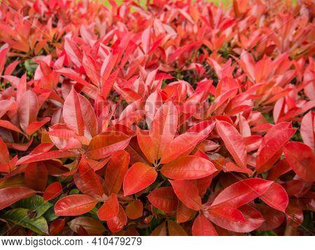 Photinia Fraseri Bush Hedge Closeup. Red Tips Of Christmas Berry Bushes.
