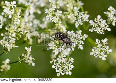 The Beetle Sits On Small White Florets In The Springtime. Nature Blurred Green Background And Bokeh.