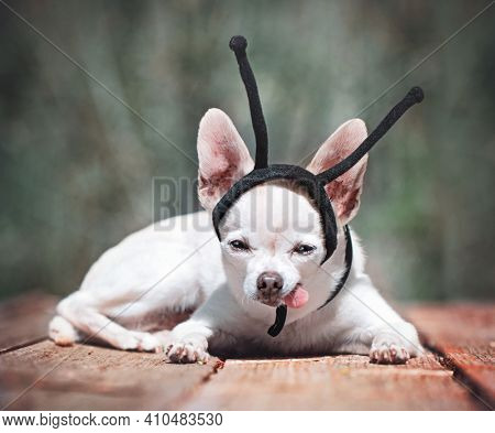 cute chihuahua with an insect antenna headband on with his tongue hanging out
