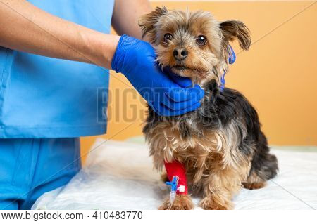 Veterinarian Caring A Yorkshire Terrier With An Intravenous Drip, At Animal Hospital. High Quality P