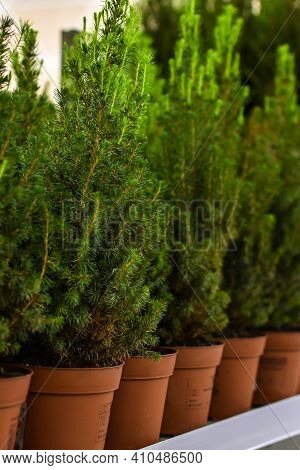 Young Cypress Trees Stand In Pots In Garden Store. Displayed In Row Canadian Spruce, Thuja, Juniper,