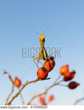 European Mantis religiosa or Praying Mantis on twig closeup. Macro shot. Insect photography