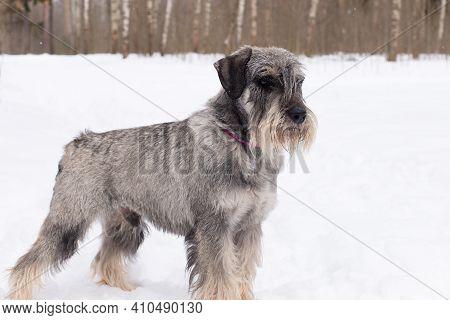 Miniature Schnauzer, Beautiful Young Ash Gray Dog