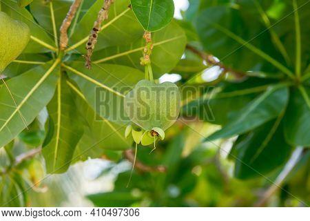 Fish Poison Tree Or Sea Poison Tree Or Barringtonia Asiatica Tropical Jungle Fruit. Fish Poison Tree