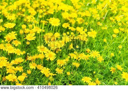 Beautiful Yellow Flowers On Green Field