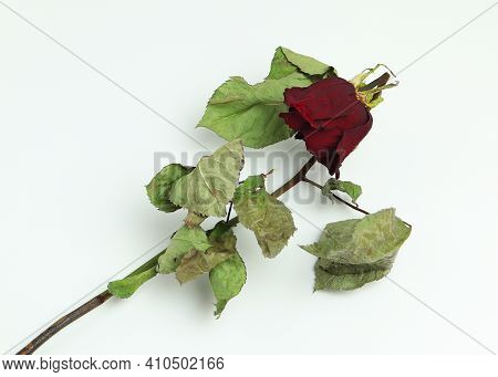 Faded Dried Rose On Isolated White Background.