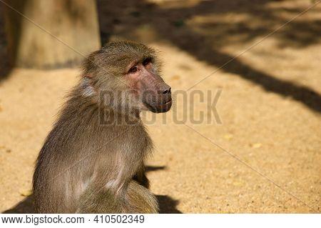 Portrait Of Old World Hamadryas Baboon Adult Female Monkey. Photography Of Nature And Wildlife.