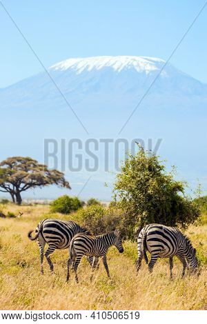 Southeast Kenya, the Amboseli park. Family of striped zebras graze in the savannah. The peak is Mount Kilimanjaro with a snow cap on a flat top. Trip to the Horn of Africa, Kenya