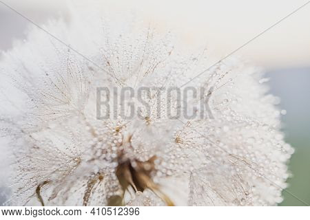Macro Nature. Beautiful Dew Drops On Dandelion Seed Macro. Beautiful Soft Background. Water Drops On