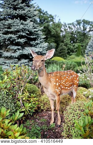Little Sika Deer In Garden. Wild Animals. Little Cute Spotted Deer