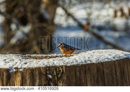 Nuthatch Woodpecker Sitting In Front Of Cereal Grains. Snow-covered Tree Trunk In Winter. Bird In Su