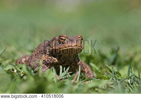 Common Amphibian European Toad, Bufo Bufo On Green Grass Background On A Sunny Day In Estonian Natur