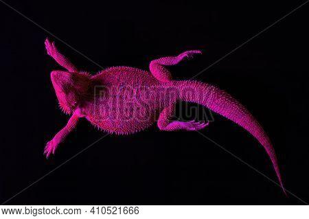 A Lizard Lies Under An Ultraviolet Lamp In A Tanning Salon. Spa Procedures Concept.