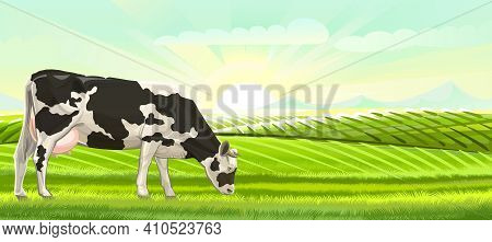 A Cow Is Grazing In A Pasture. Landscape. Black And White Breed. Meadow Grass. Rural Rustic View. Mo