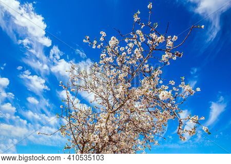 White-pink olive tree flowers. Spring in Israel. Lush spring olive tree flowering is the basis of olive oil production. Ecological and photo tourism concept. Light spring clouds over blooming land