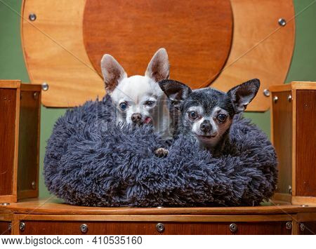 cute chihuahuas in a handmade chair with a tiny bed on it