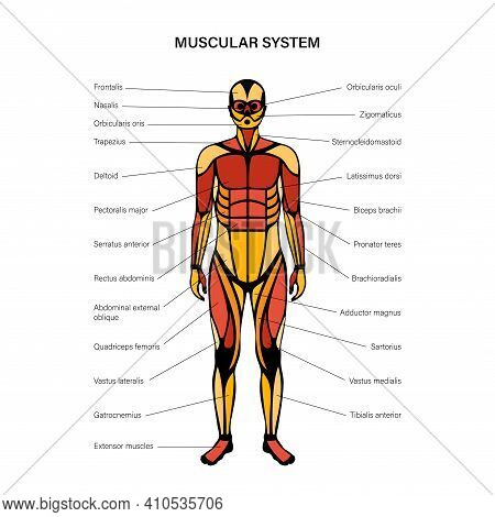 Human Muscular System Infographic Anatomical Poster. Structure Of Muscle Groups Of Men In Front View