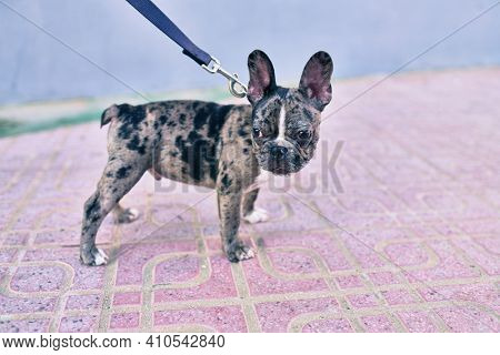 Beautiful puppy spotted french bulldog going for a walk at the city wearing leash