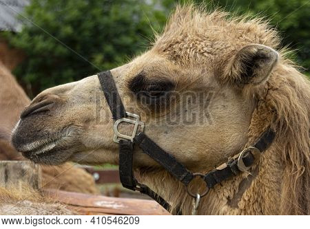 Close Up Of A Dromedary With A Halter