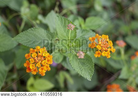 Top View Of Orange And Yellow West Indian Lantana Bloom In The Garden On Blur Nature Background. Is