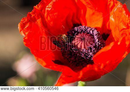 Summer Scarlet Poppy Flowers Field. Scarlet Poppy Flowers Meadow. Summer Scarlet Poppies Flowers Mea