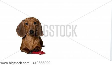 Red-haired Dachshund Lying Against The Background Of A White Banner Put His Foot On A Red Heart Made