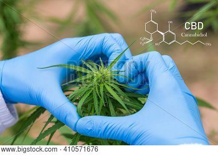 The Scientist's Hand Held The Marijuana, Concept Hemp Oil, Cbd Chemical Formula, Cannabis Oil, Medic