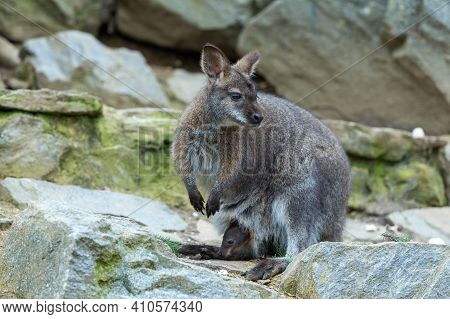 Closeup Of A Red-necked Wallaby Kangaroo (macropus Rufogriseus) Female With Baby In Bag