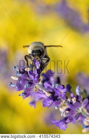 Diligent Bee Sucks Lavender Nectar In Spring Garden, Summer Concept, Shallow Focus