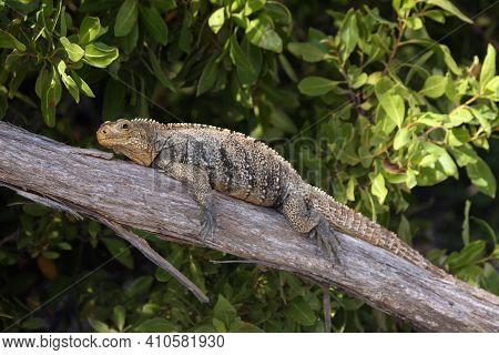 Cuban Rock Iguana (cyclura Nubila), Also Known As The Cuban Ground Iguana Or Cuban Iguana Lying On A